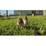 อย่างฮา...!!! เมื่อซ่อนกล้อง Gopro ไว้ในสวนมาดูกันว่าเหล่านกฮูกทำอะไรบ้าง (ชมคลิป)