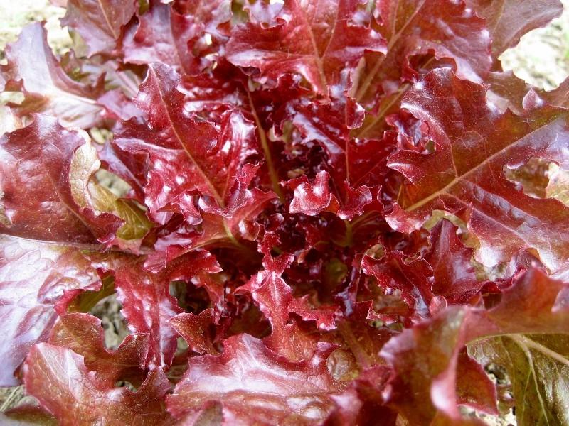 Red Salad Bowl Lettuce (เรด โบลว์ สลัด)