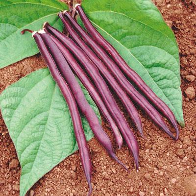 Royal Burgundy Bean (ถั่วโบวกันดี้สีม่วง)