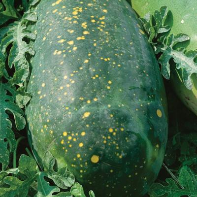 Harvest Moon Watermelon