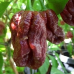Trinidad Seven Pod Douglah