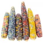 Glass Gem Corn (ข้าวโพดอัญมณี)