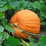 Pacific Pumpkin - ฟักทองยักษ์