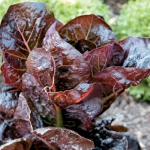 Red Romaine Lettuce (เรดโรแมนด์ สลัด)