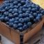 Bluecrop Blueberry (บลูเบอรี่ บลูค็อป)
