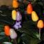 bolivian rainbow pepper