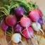 Easter Egg II Radish (หัวบีช เรดิช ไข่อีสเตอร์)