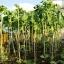 Kale Tree (คะน้าต้นสูง)