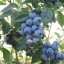 Spartan Blueberry (สปาทันบลูเบอรี่)