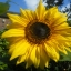 Giant Sunflower (Single) (ทานตะวันยักษ์ พันธุ์ ซิงเกล)