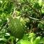 ใบทุเรียนเทศแห้ง Graviola Air Dried Soursop Leaves ขนาด 250 กรัม thumbnail 3